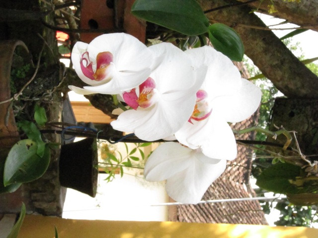 Orchids flourish in Bali